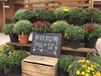 Mums at Farm Store